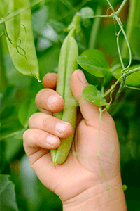 A hand holding a pea pod.